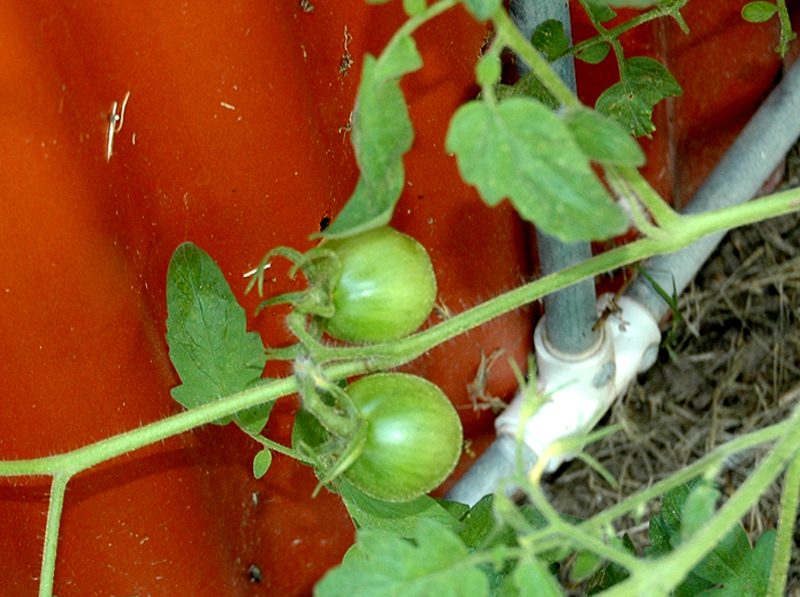 10/07 — Tomatoes Return In Fall