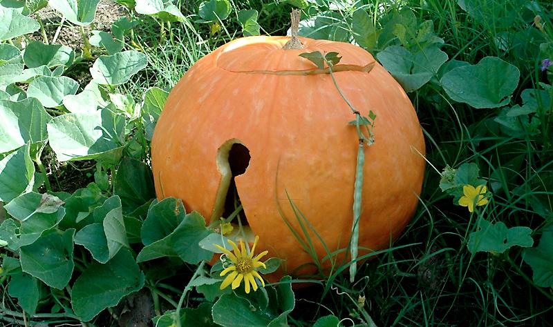 A-17 Keyhole Carved Pumpkinx