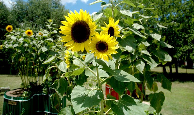 A-4 Sunflowersx