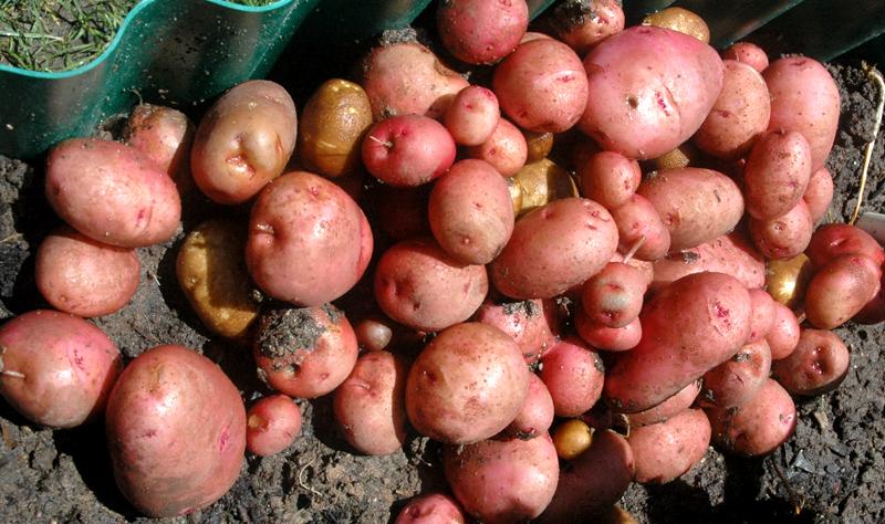 B-3 Potato Cropx