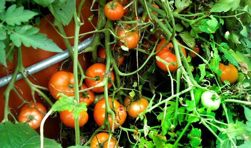 B-6 Tomato Bunchx