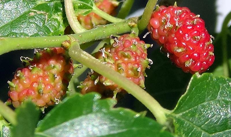 B14 Mulberriesx